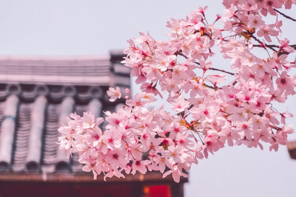Branche de cerisier en fleurs à Nara à observer pendant Hanami