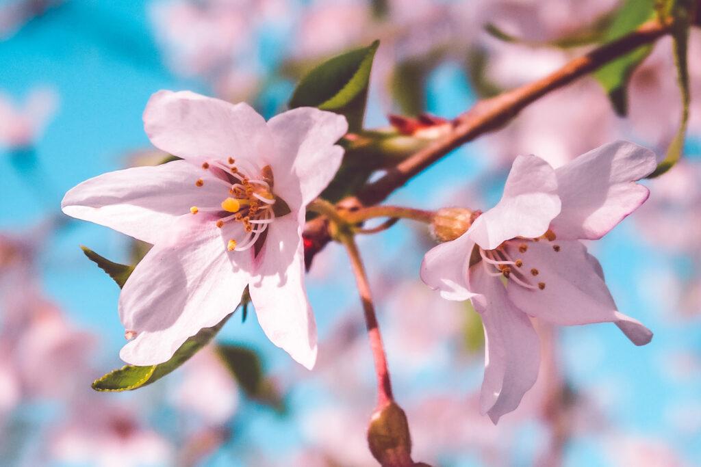 Zoom sur des fleurs de Sakura, stars d'Hanami