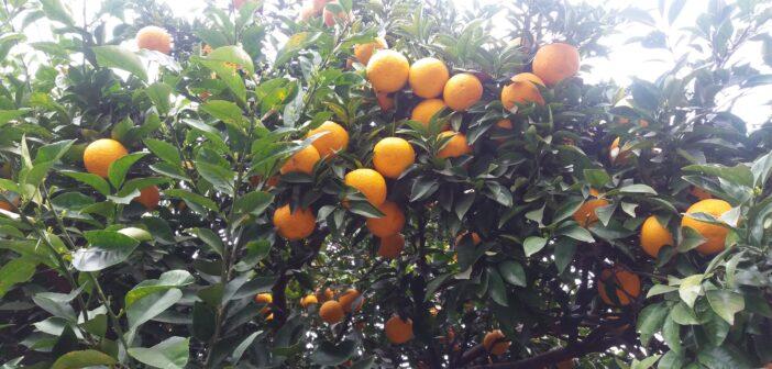 Fruit du soleil levant.